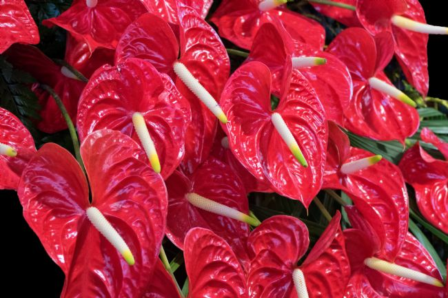 Lynn Bolt | Red Anthurium