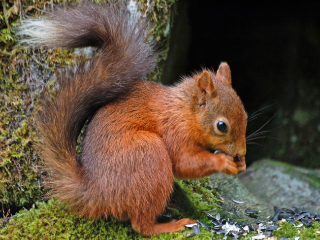 Lynn Bolt | Red Squirrel