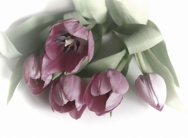 Lynn Bolt | Five Pink Tulips
