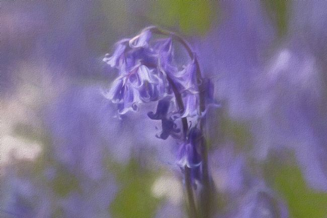 Lynn Bolt | Bluebells in Chalk