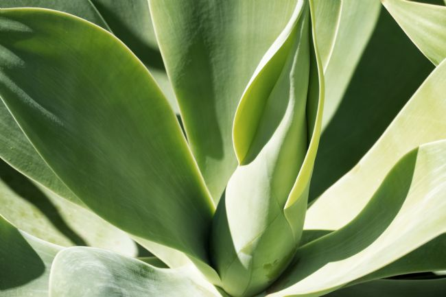 Lynn Bolt | Agave Fox Tail