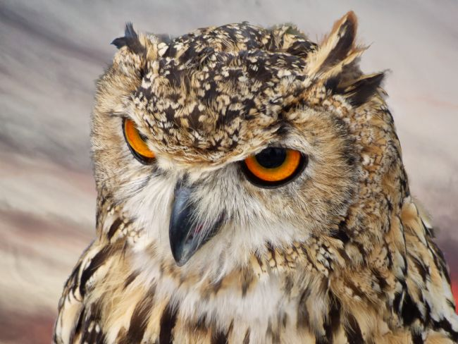 Lynn Bolt | Eagle Owl