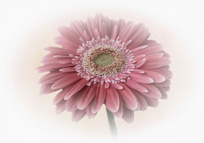 Lynn Bolt | Single Gerbera
